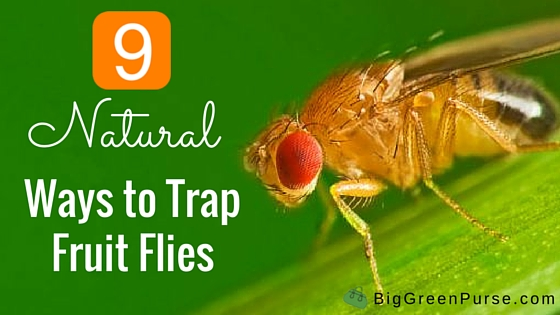 fruitflies_blog